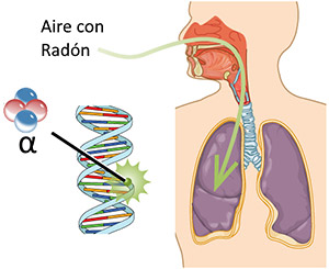 Radón entra en pulmones